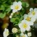 Spirée d'Espagne - Spiraea hypericifolia