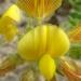 Bugrane jaune, Bugrane...