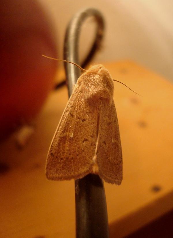 Le Point Blanc - Mythimna albipuncta, Aletia albipuncta