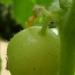 Concombre lemon
