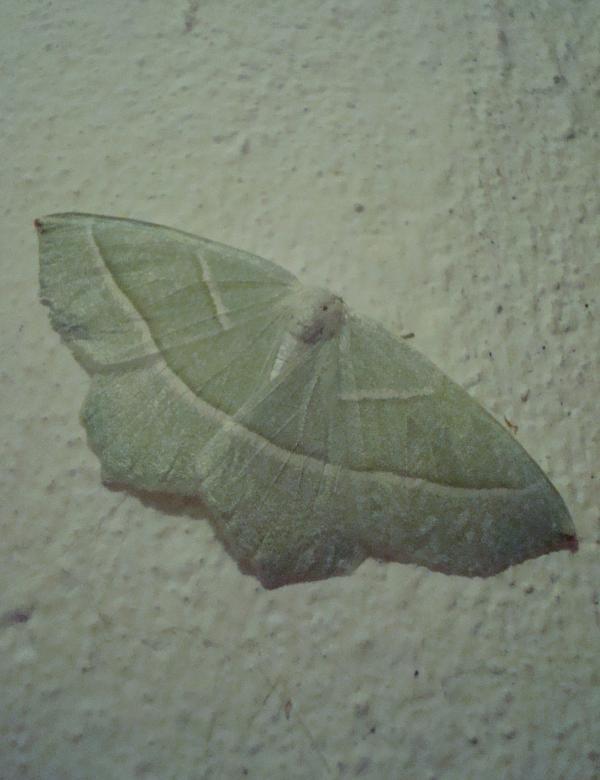 Céladon (Campaena margaritata)