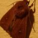 Bombyx du chêne