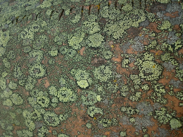 Lichen sur tuile