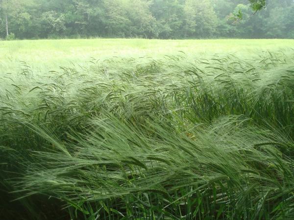 ... et passe la pluie sur les blés