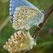 Argus bleu, Azuré commun, Azuré de la Bugrane