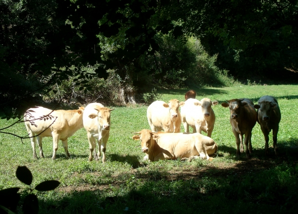 Vaches près de Sabadel-Lauzès