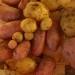 Très mini récolte de patates du causse