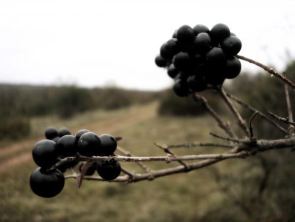 Bourdaine, cerisier à grappes, nerprun