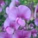 Gesse à grandes fleurs
