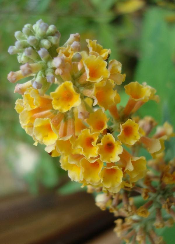 Buddleia weyeriana 'Sungold', Arbre aux papillons jaune