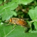 Taon Philipomyia sp. mâle