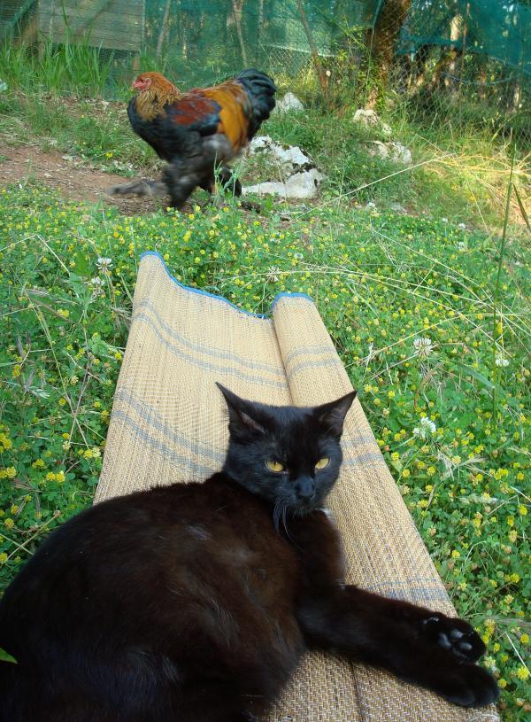 Le coq passe et la chatte attend