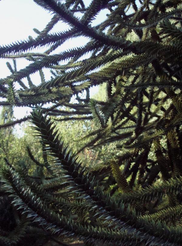 Araucaria araucana ou désespoir des singes, originaire du Chili