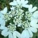 Orlaya à grandes fleurs