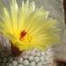 Mamillaria en fleur