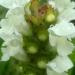Brunelle laciniée