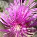 Drosanthème florifère