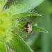 Bébé punaise - Carpocoris pudicus