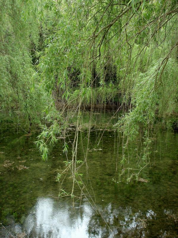 Saules pleureurs - vallée du Bonnan