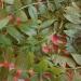 Récolte de frêne