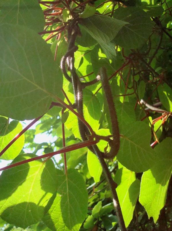 Actinidia - arbre à kiwis