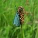 Turquoise de la Globulaire, le Procris des Centaurée