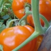 Tomates Caro rich