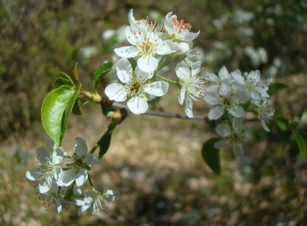 Cerisier Sainte-Lucie