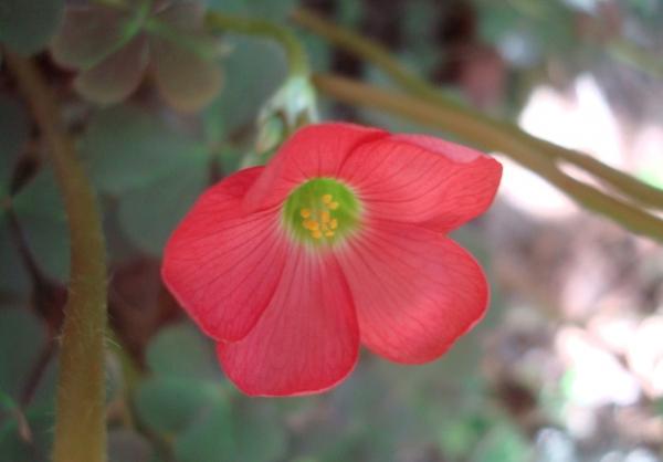 Trèfle à 4 feuilles - Oxalis deppei