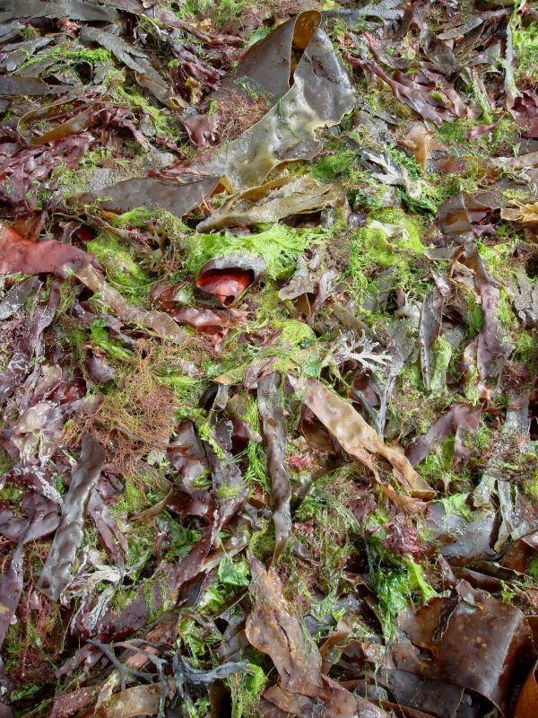 Algues - Côtes d'Armor - Bretagne