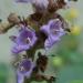 Fleurs de gattilier, poivre des moines