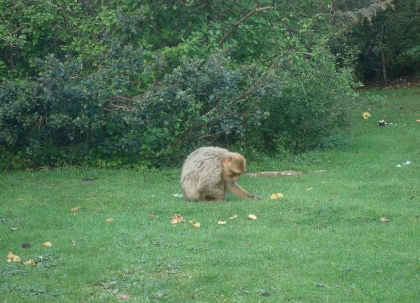 Macaque de Barbarie - Rocamadour