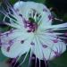 Cadeau du jour : la première fleur du câprier