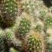 Un de mes nombreux cactus