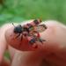 Clairon des abeilles