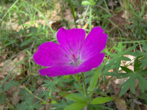 Géranium sanguin, Herbe à becquet