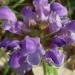 Brunelle à grandes fleurs