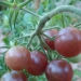 Tomates cerise Black Cherry