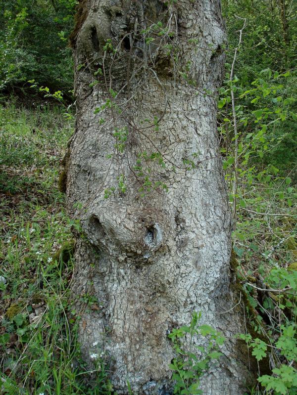 Un arbre qui a du nez