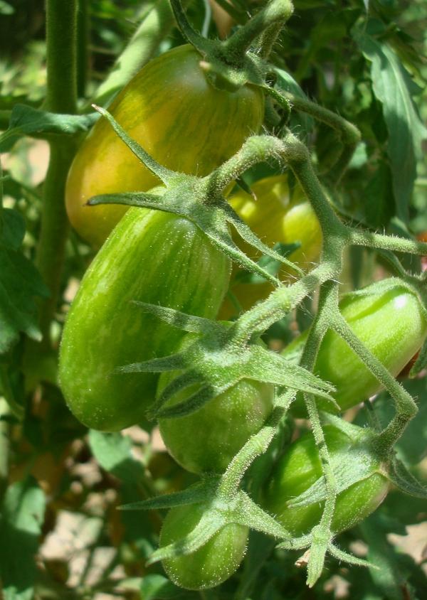 Tomates Flammée Blush