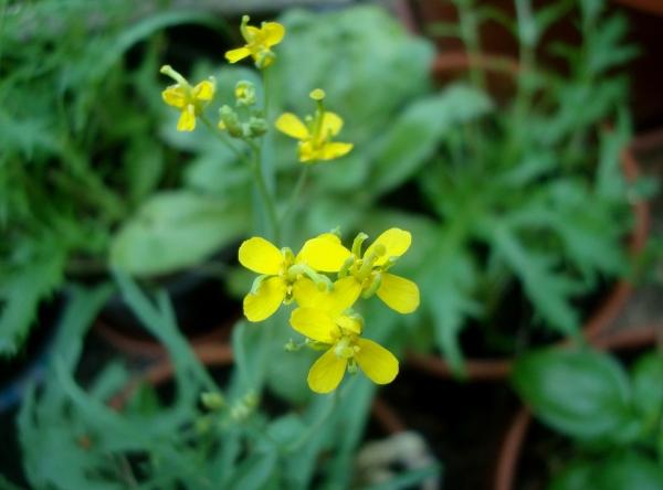 Fleurs de mizuna