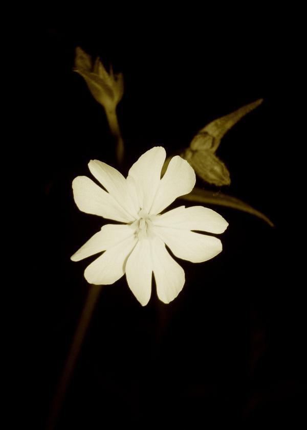 Compagnon blanc de la nuit