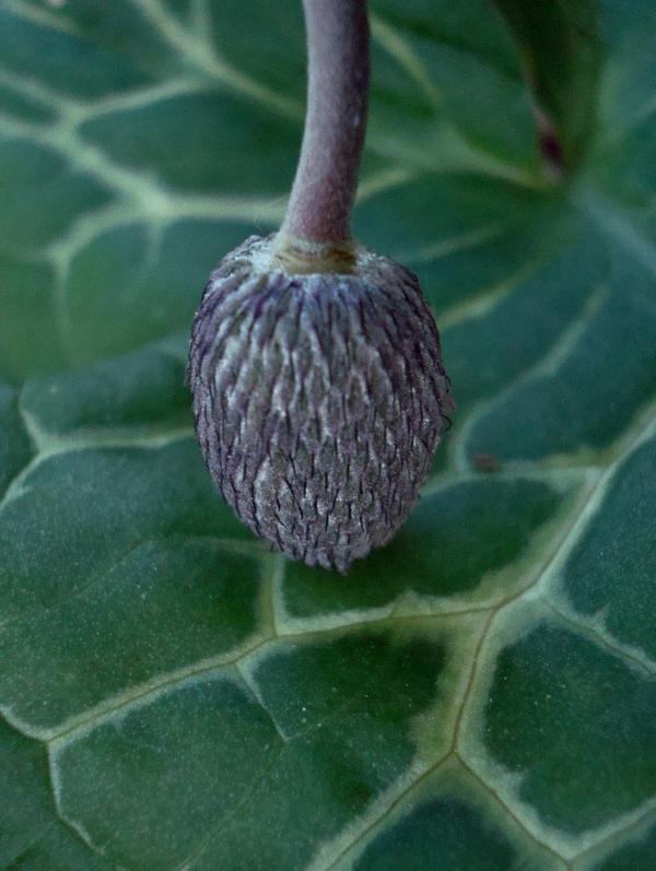 Anémone pulsatille après floraison sur feuille d'arum pied de veau