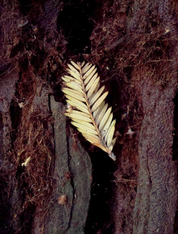 Plume de séquoïa