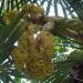 Fleurs de palmier dattier
