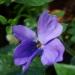 Violette du 8 novembre