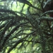 Cèdre du Japon - Cryptomeria japonica rasen sugi