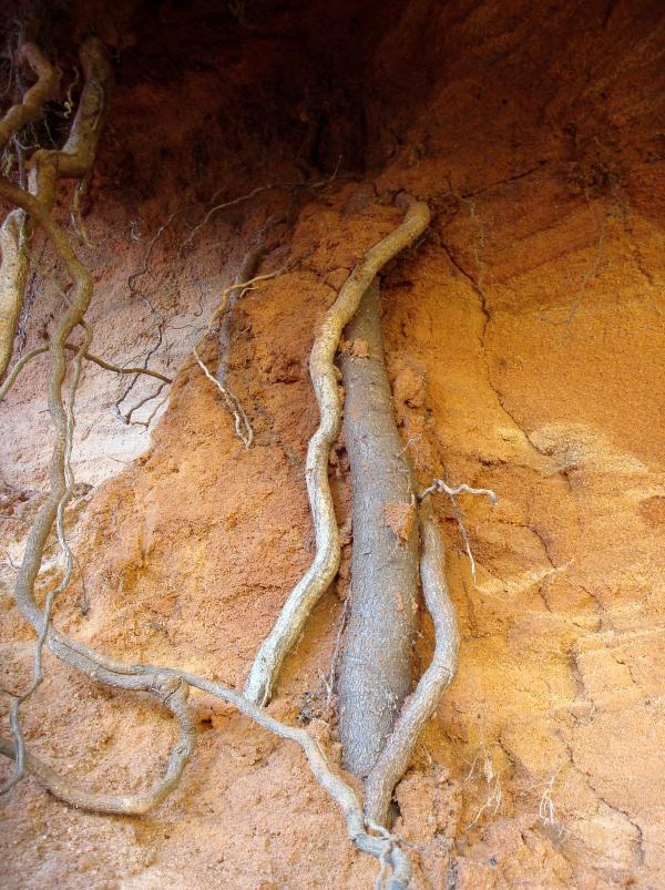 Racine des sables