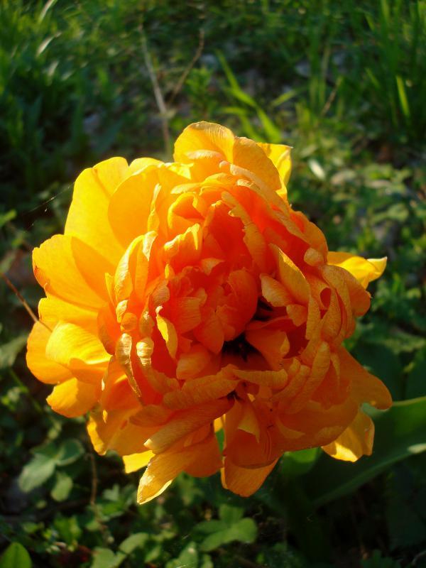 Mes amours de tulipes