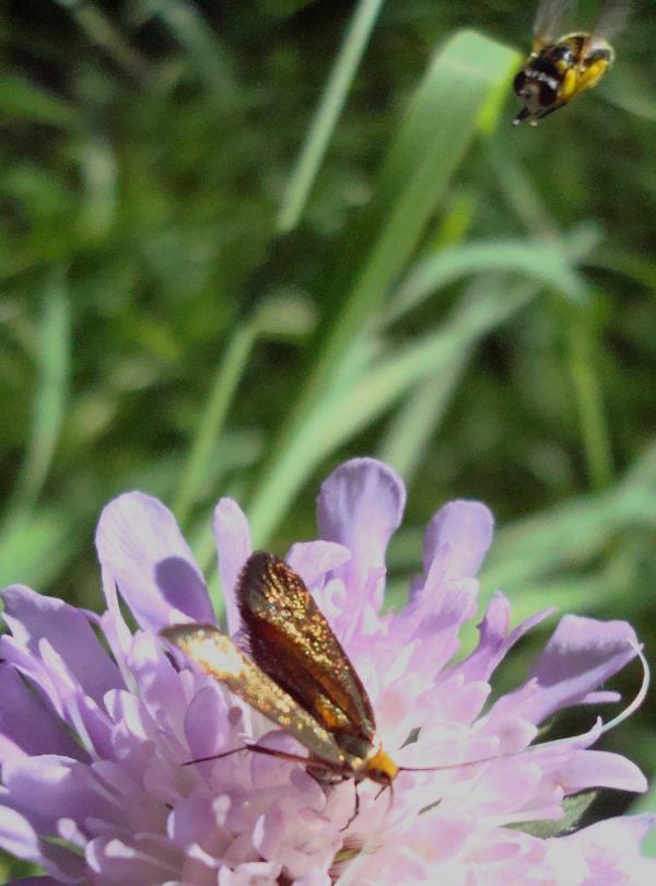 Adèle de la scabieuse - Nemophora metallica -